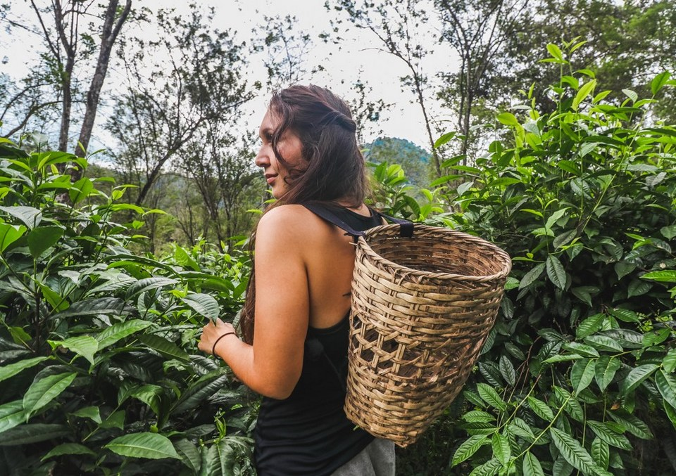 Araksa Tea Garden, one of Chiang Mai points of interest