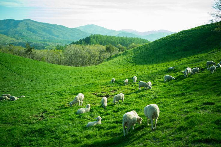 the most beautiful sheep farm in Gangwon - Korea. Daegwallyeong sheep farm Daegwallyeong sheep ranch