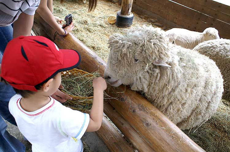 the most beautiful sheep farm in Gangwon - Korea3 Daegwallyeong sheep farm Daegwallyeong sheep ranch