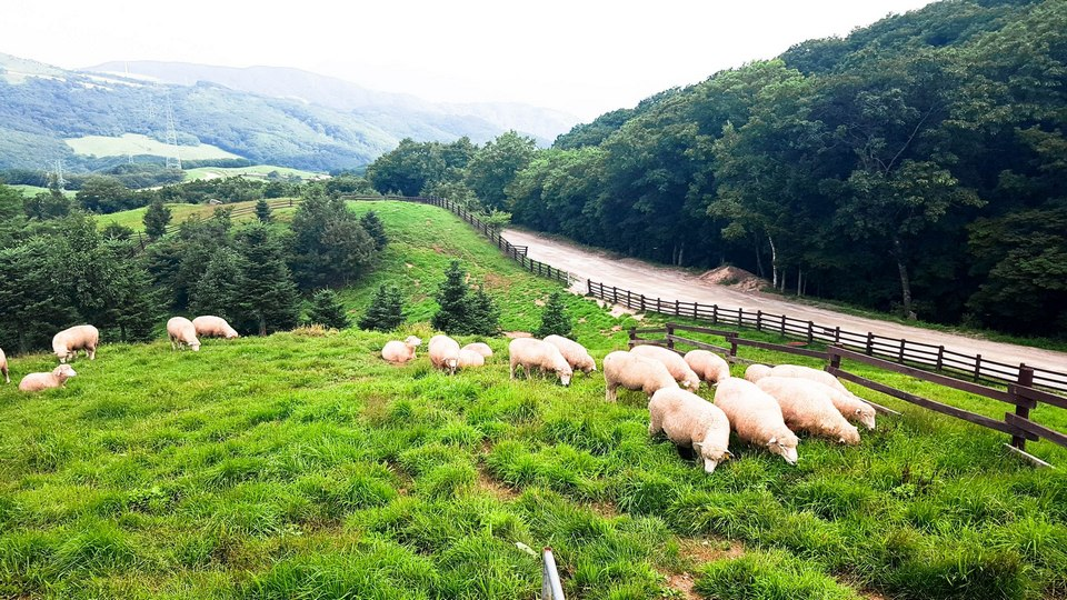 the most beautiful sheep farm in Gangwon - Korea8 Daegwallyeong sheep farm Daegwallyeong sheep ranch