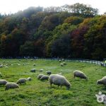 Visiting Daegwallyeong Sheep Farm — Exploring the most beautiful sheep farm in Gangwon, South Korea