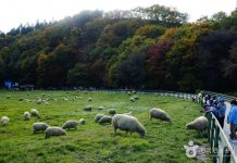 daegwallyeong-sheep-farm-in-gangwon korea