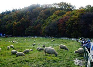 daegwallyeong-sheep-farm-in-gangwon korea