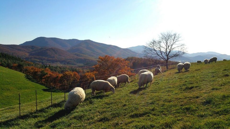 daegwallyeong-sheep-farm-in-korea 21