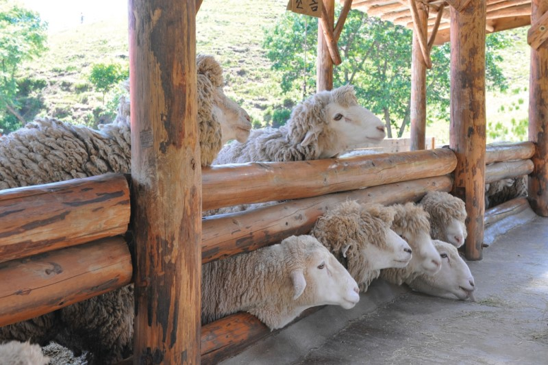 the most beautiful sheep farm in Gangwon - Korea23 Daegwallyeong sheep farm Daegwallyeong sheep ranch