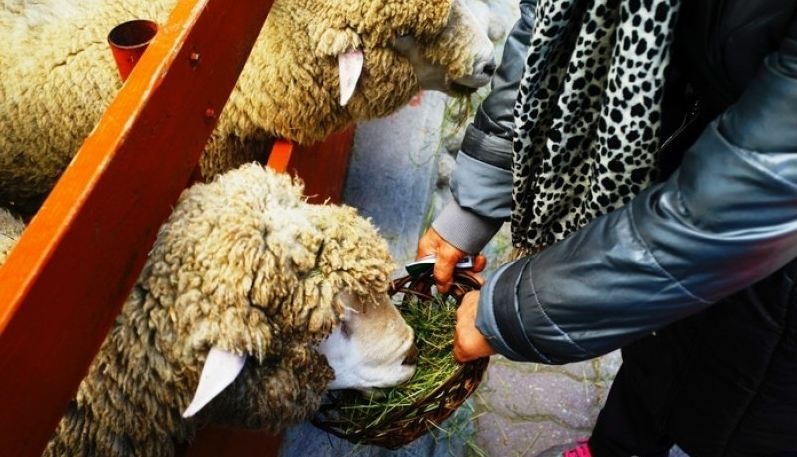 the most beautiful sheep farm in Gangwon - Korea27