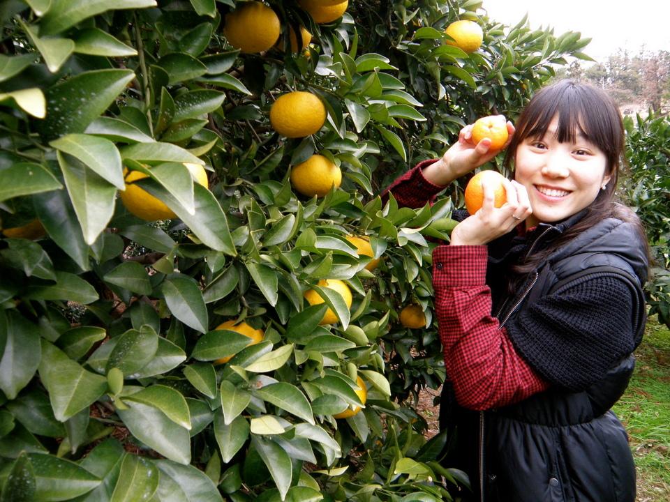 picking tangerine in the farm