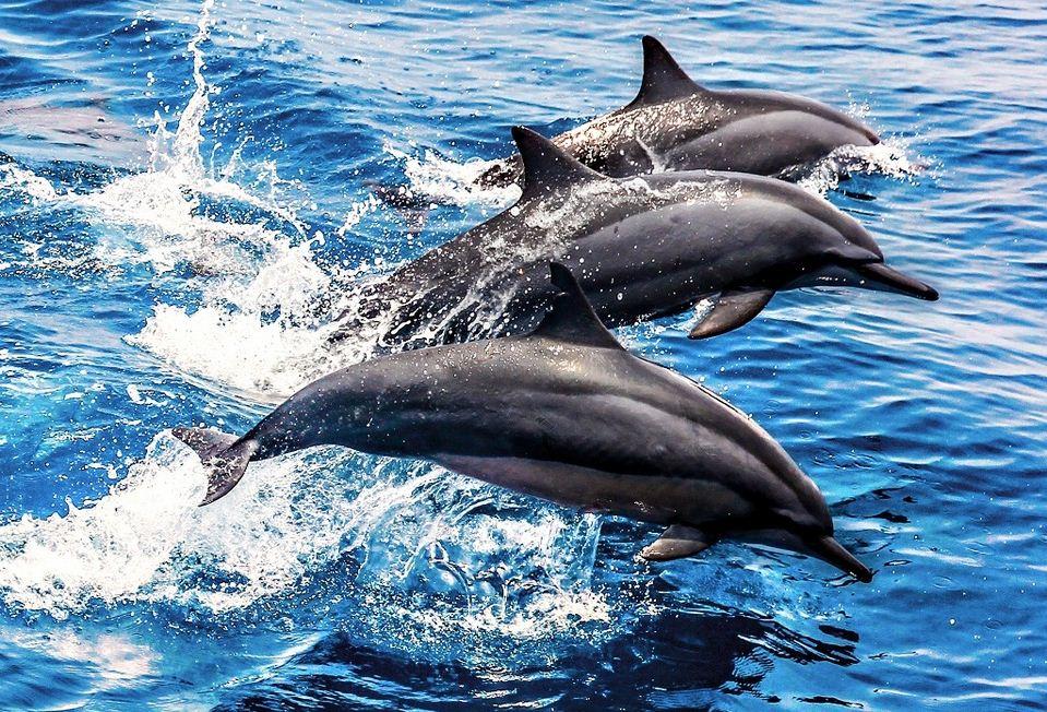 dolphin in guishan island