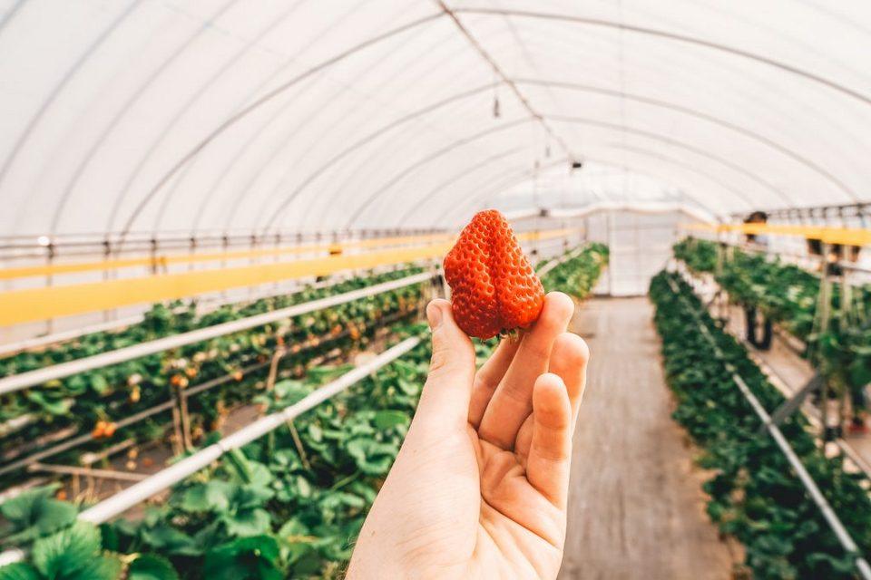 Japan-Tochigi-Nasu-Strawberry-Farm-09221-1024x683
