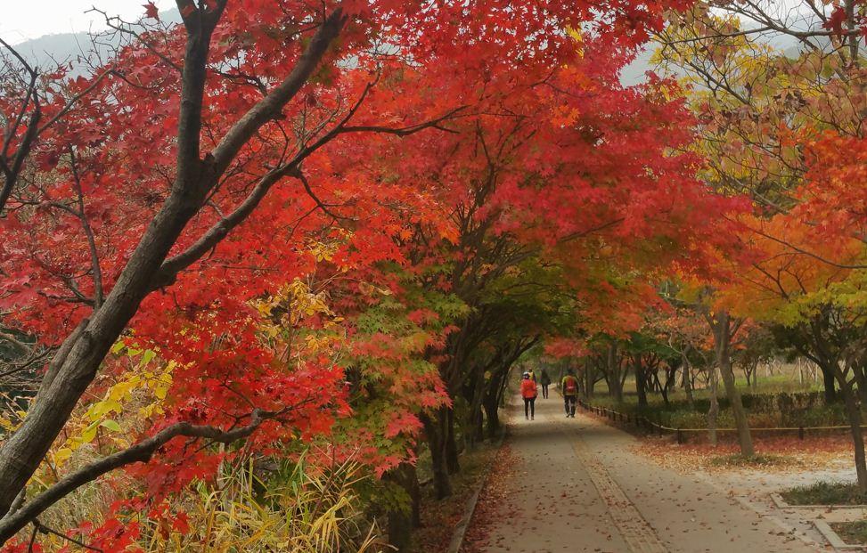 tainan maple leaf3