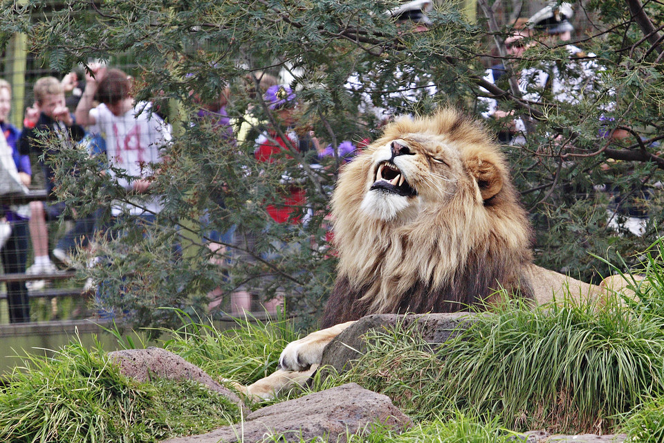 Lion_-_melbourne_zoo