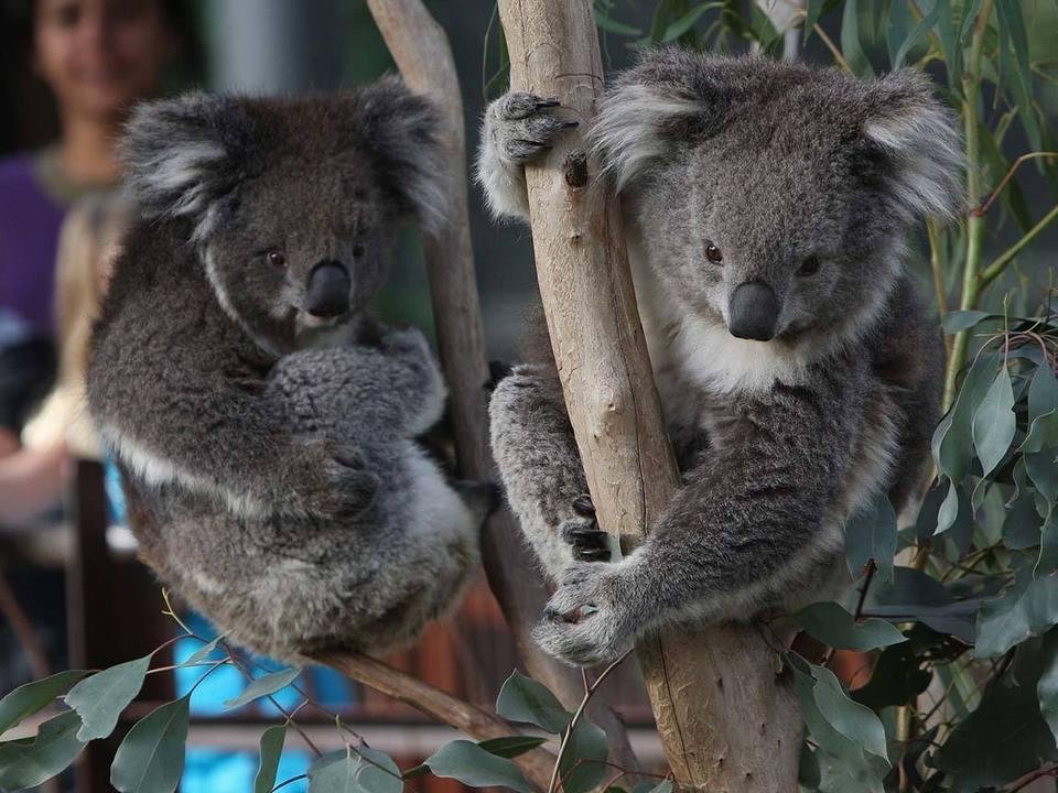 koalas_melbourne-zoo_mel_r_1408069_1150x640