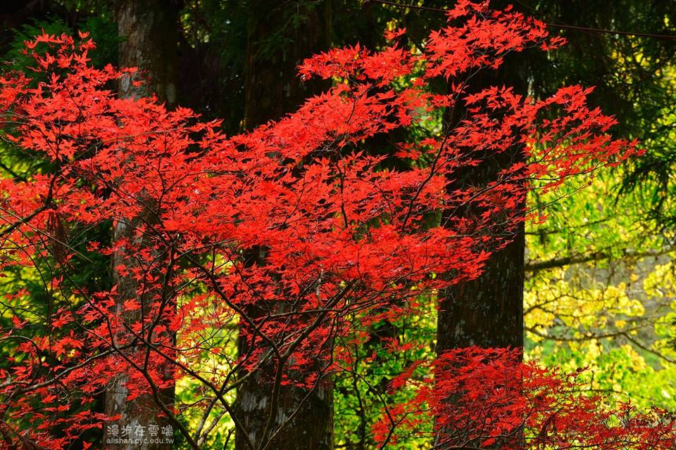 alishan autumn maple leaves season in taiwan best time to see autumn leaves in taiwan