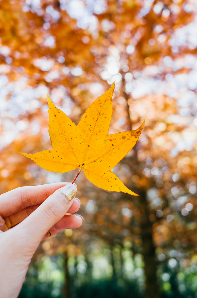 maple leaves season in taiwan best time to see autumn leaves in taiwan3