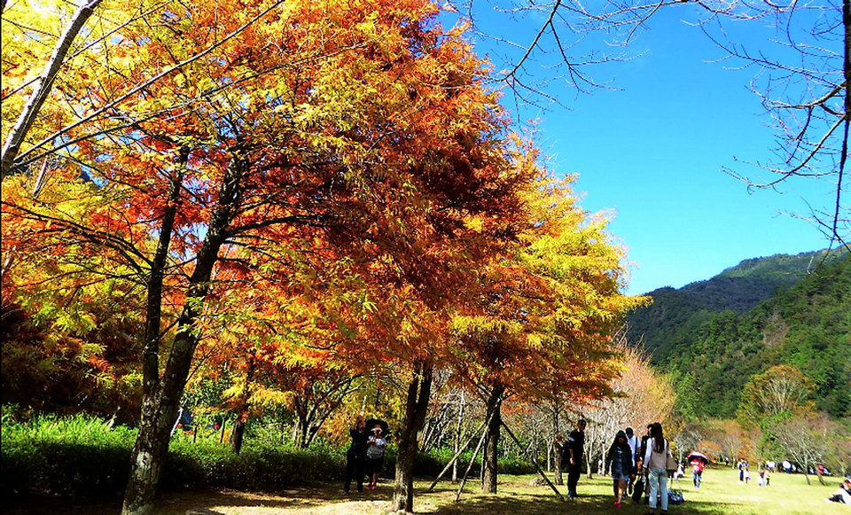 ,maple leaves season in taiwan,autumn foliage taiwan,fall foliage taiwan,taiwan autumn foliage,taiwan fall foliage