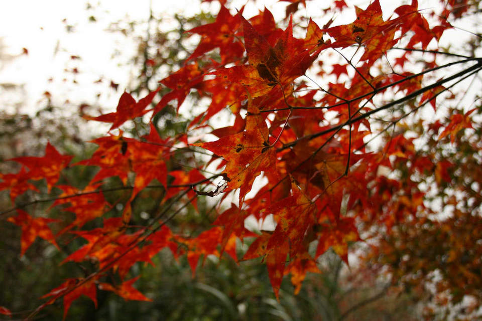 Mount Manapan autumn Picture: maple leaves season in taiwan blog.