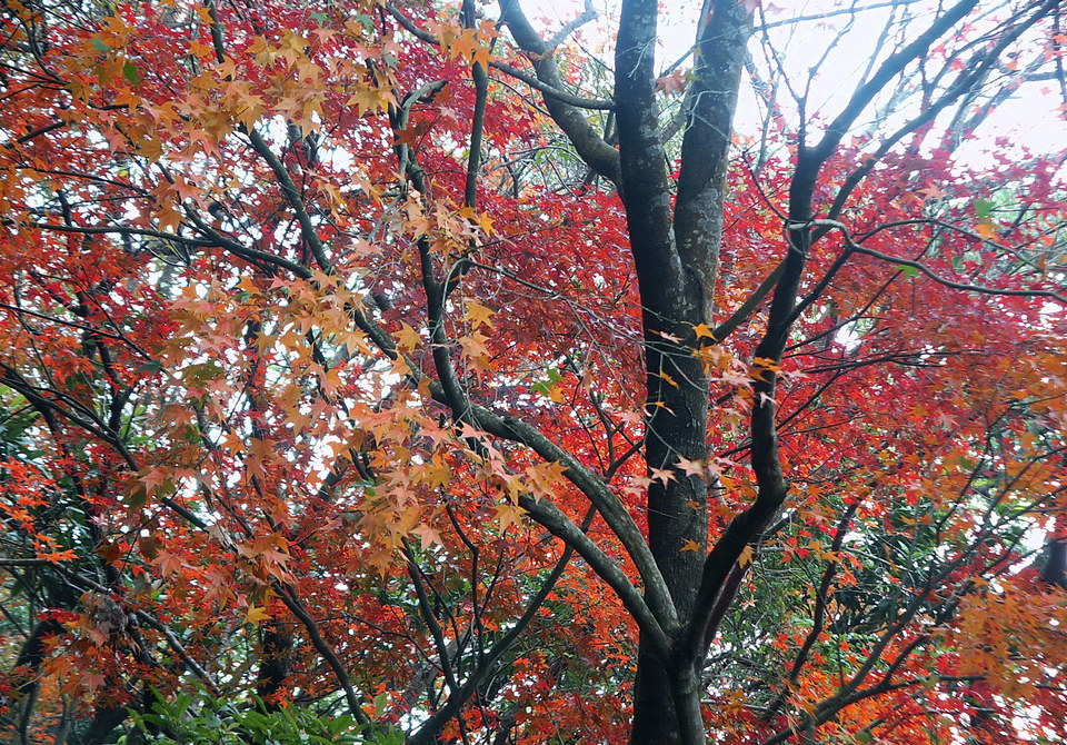 Red leaves on Zhongxing Road, Yangmingshan Park