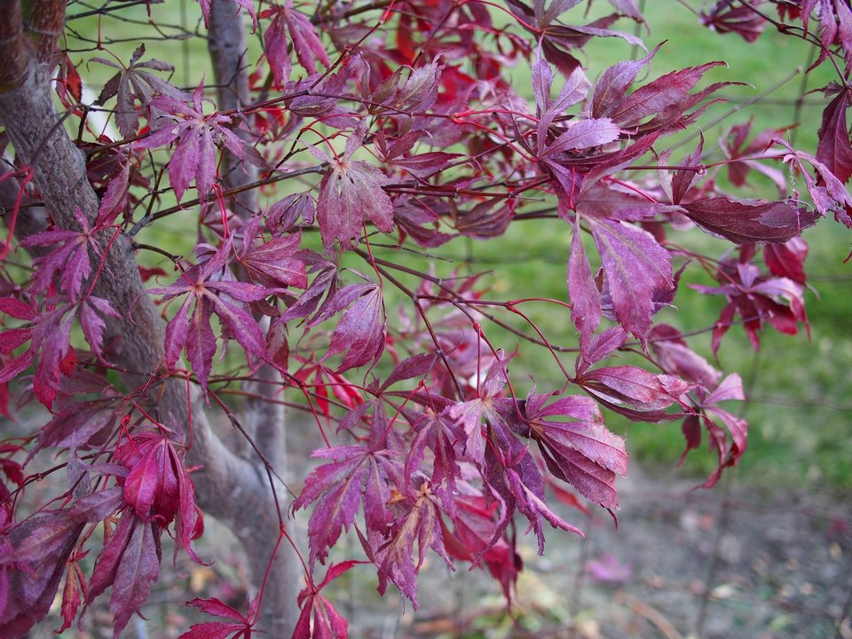 Taipingshan autumn purple maple leaves