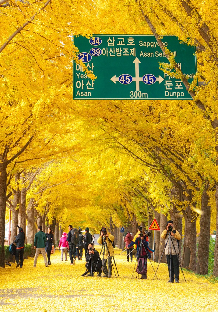 the ginkgo road of Hyeonchungsa 3