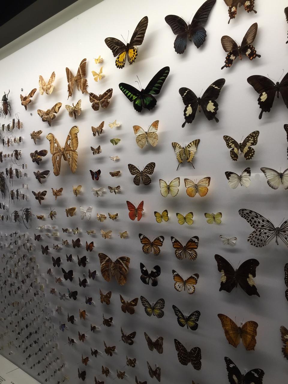 Butterflies (Lepidoptera)