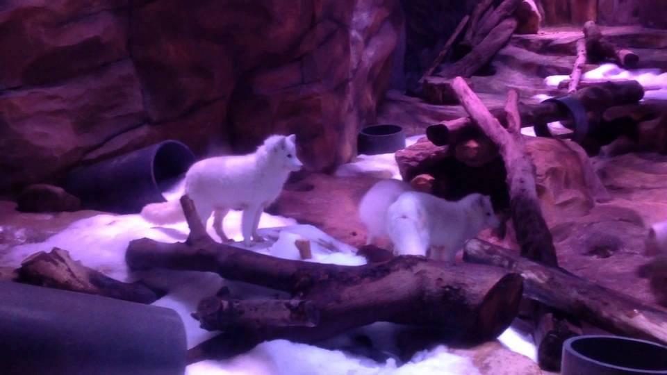 Arctic Wolf Den
