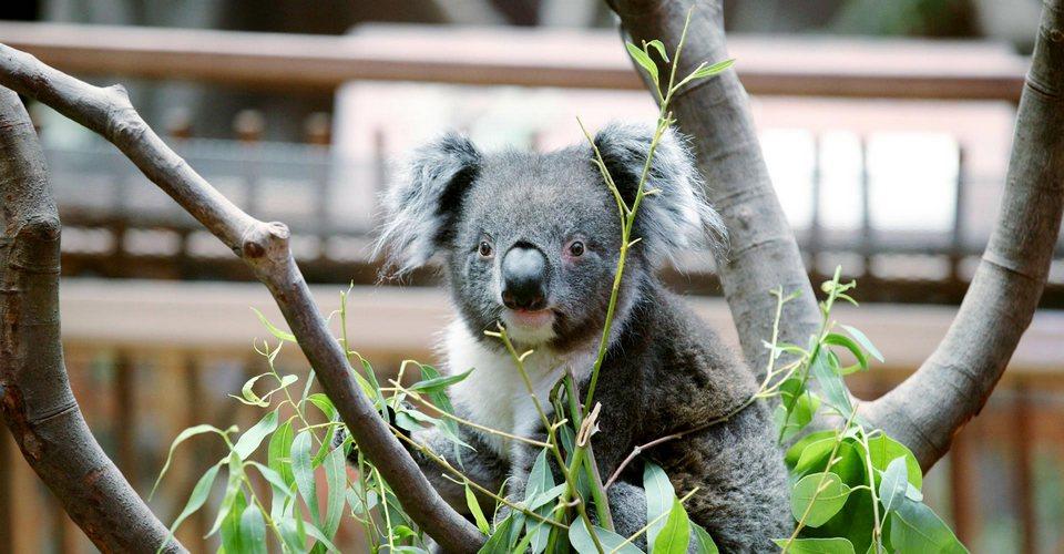 koala AdventuresAustralia_051