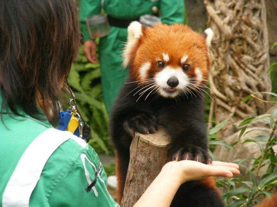 Red-pandas-in-Ocean-Park-Hong-Kong-red-pandas-30357917-1300-975