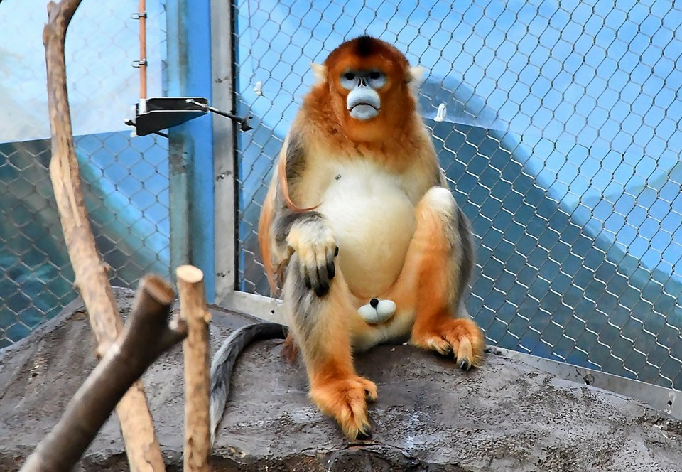 ocean-park-golden-monkey-1