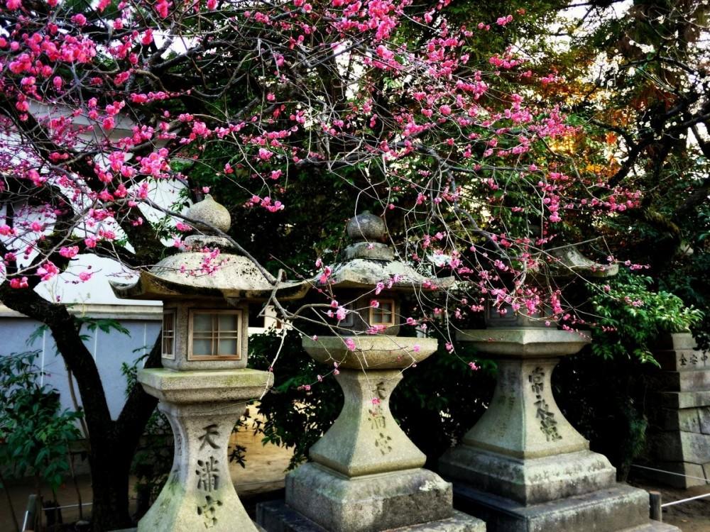 Stone lanterns and pink plum blossom
