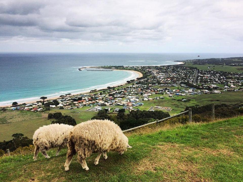 great ocean road sheep farm