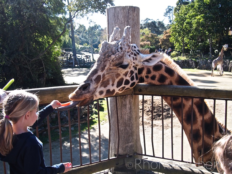 Feeding the giraffe at the Auckland Zoo