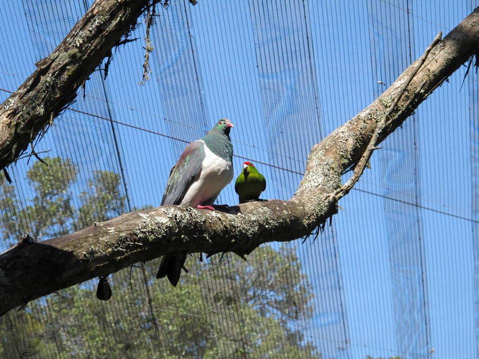 Pigeon & Parakeet
