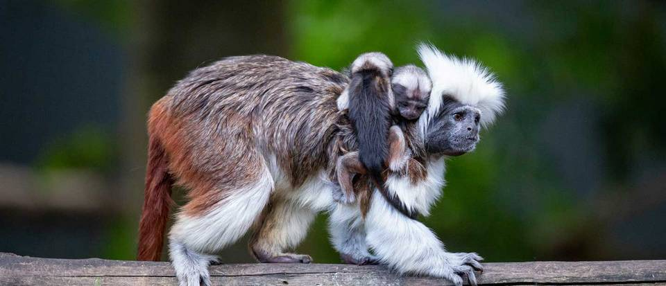 auckland zoo cotton-top-babies-hero2