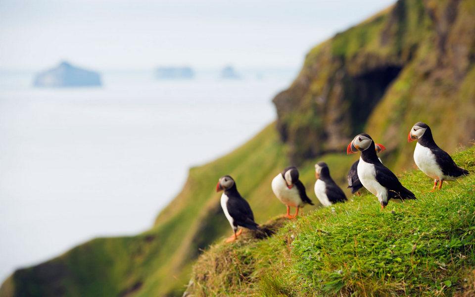 westman-island-puffin-iceland-ICELAND0417
