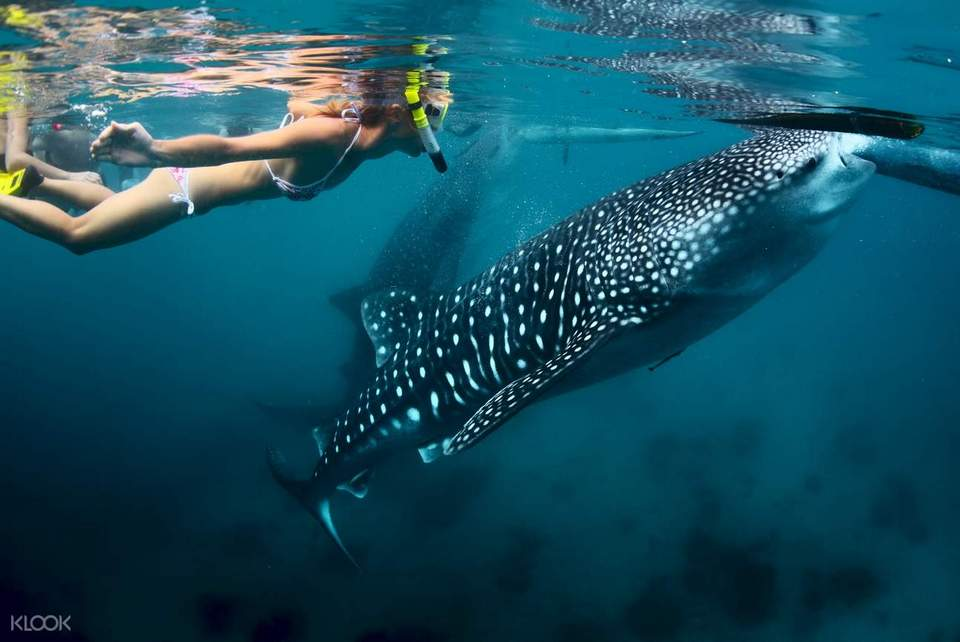 oslob cebu whale shark,cebu guide,cebu blog,cebu island travel guide,cebu travel blog,cebu travel guide,cebu trip blog (1)