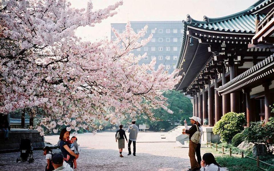 fukuoka-hanami,fukuoka travel blog