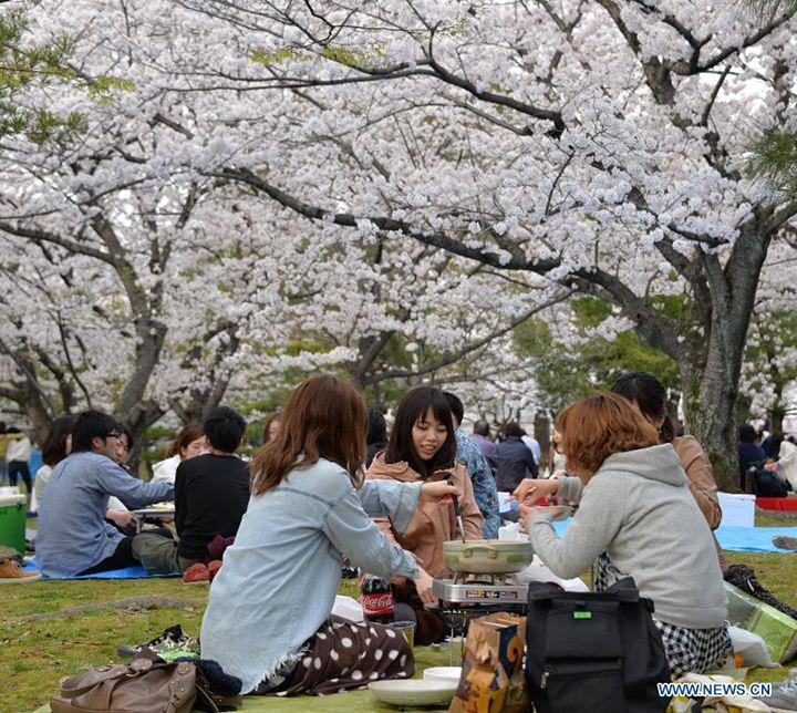 hanami fukuoka travel blog