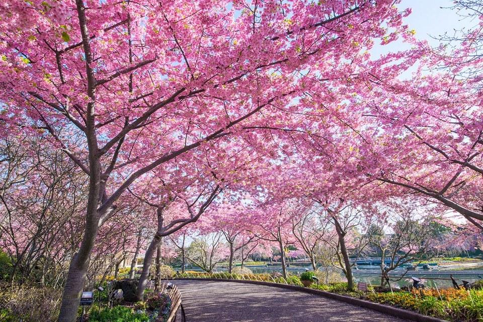 Nabana-no-Sato-Cherry-Blossoms