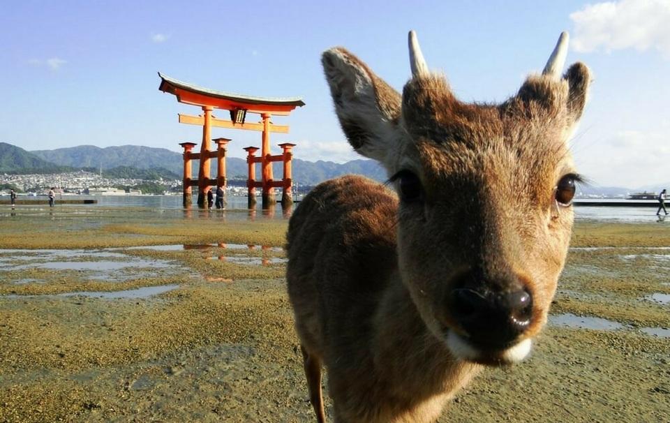 Miyajima Island,hiroshima travel blog (1)
