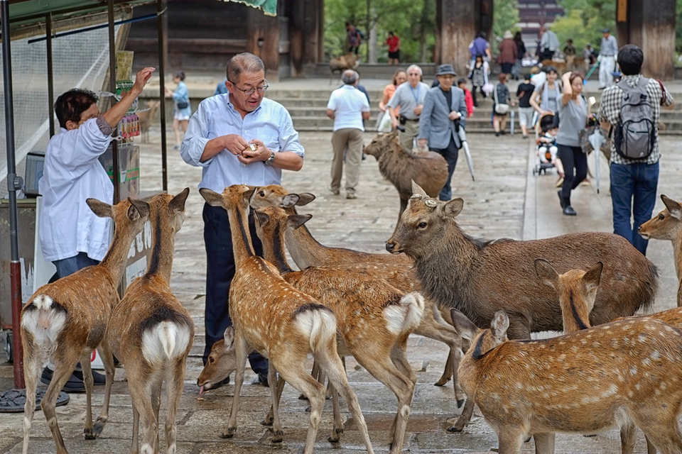 Feeding the deers on Miyajima