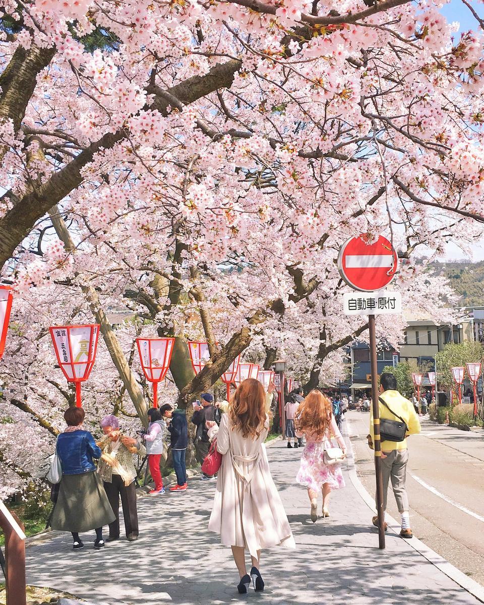 Full blossom at Kanazawa, Japan yesterday