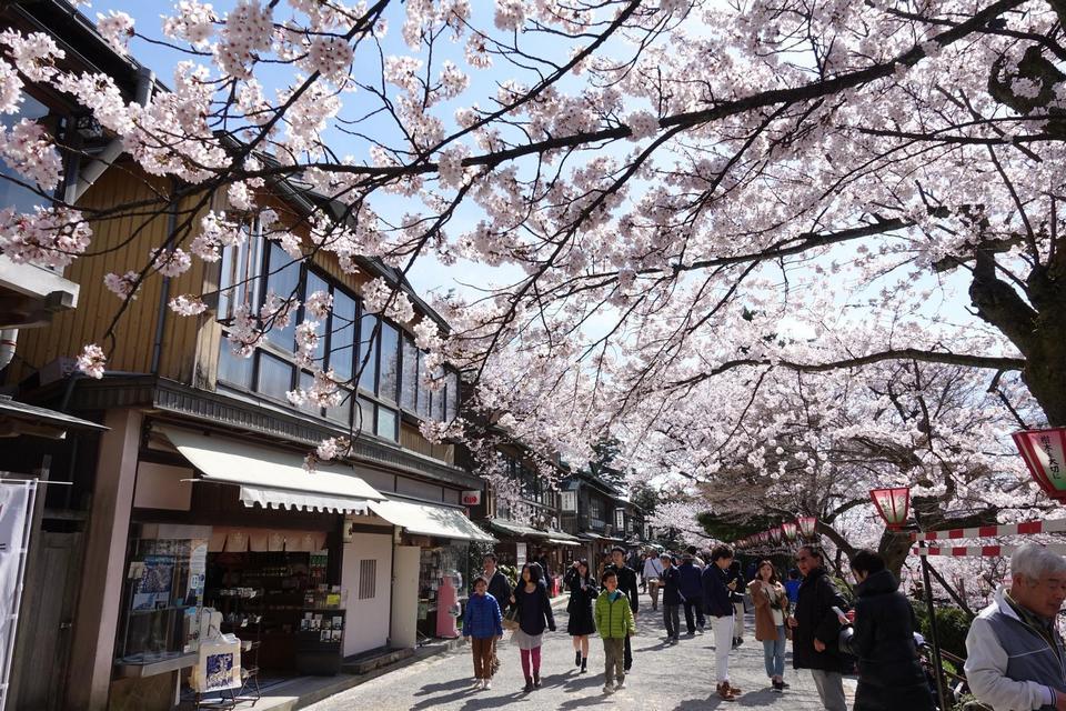 kanazawa-sakura,kanazawa travel blog
