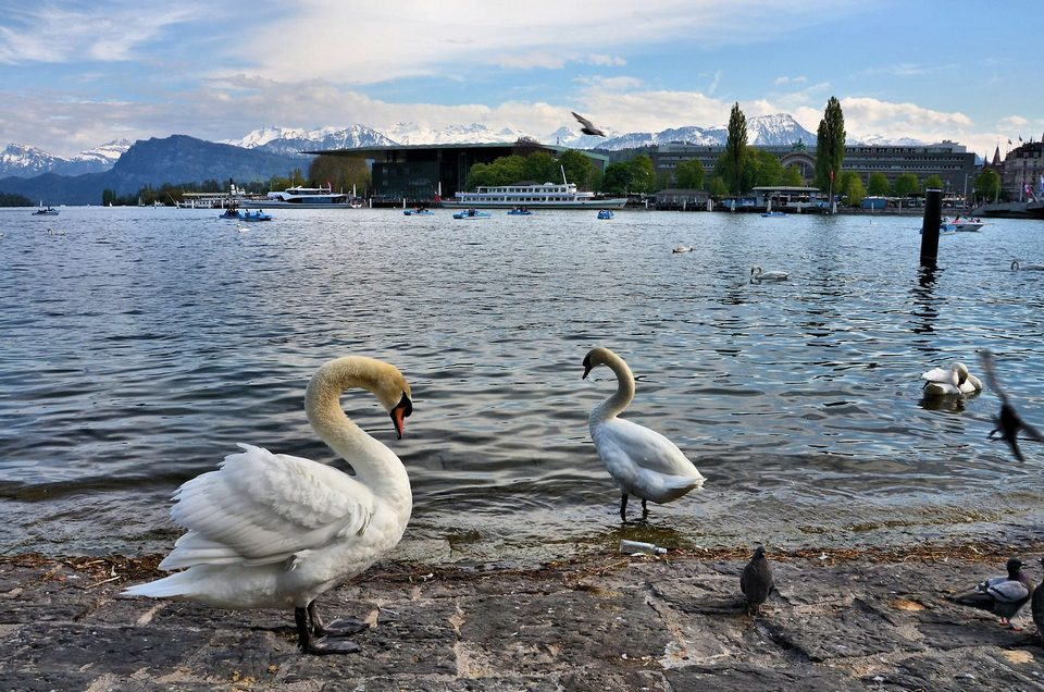 Swans, Lake Lucerne and Swiss Alps in Lucerne, Switzerland - Encircle Photos