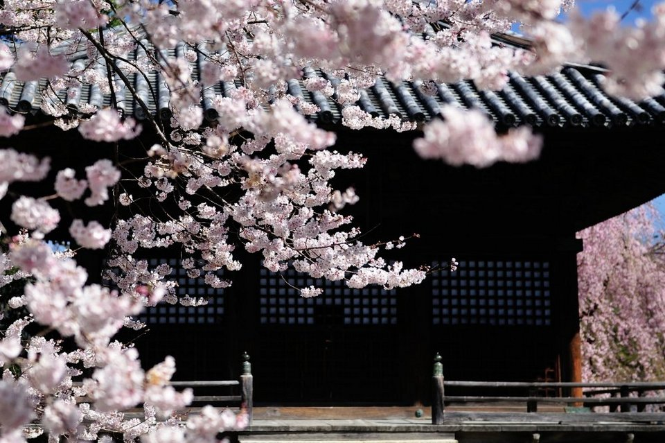 Soft pink cherry blossoms in front of Goma-do Hall. It looks as though