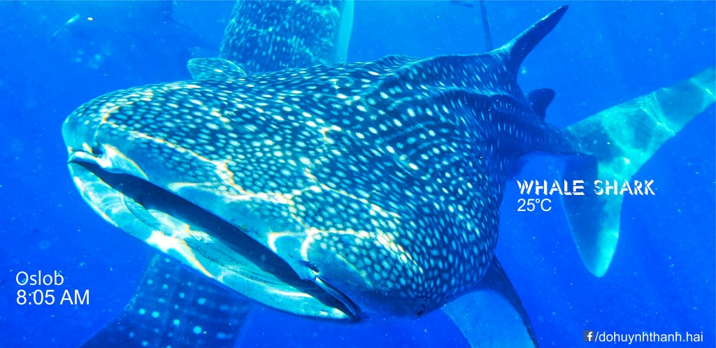 whale shark watching 3 days in cebu,cebu itinerary 3 days,cebu itinerary 3 days 2 nights,cebu trip itinerary,what to do in cebu for 3 days (1)