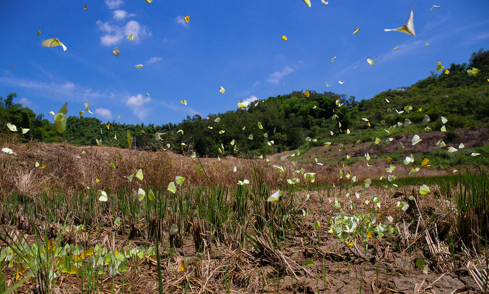Yellow Butterfly Valley meinong (1)