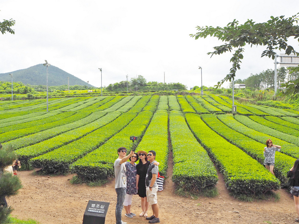 osulloc-innisfree-green-tea-plantation-1
