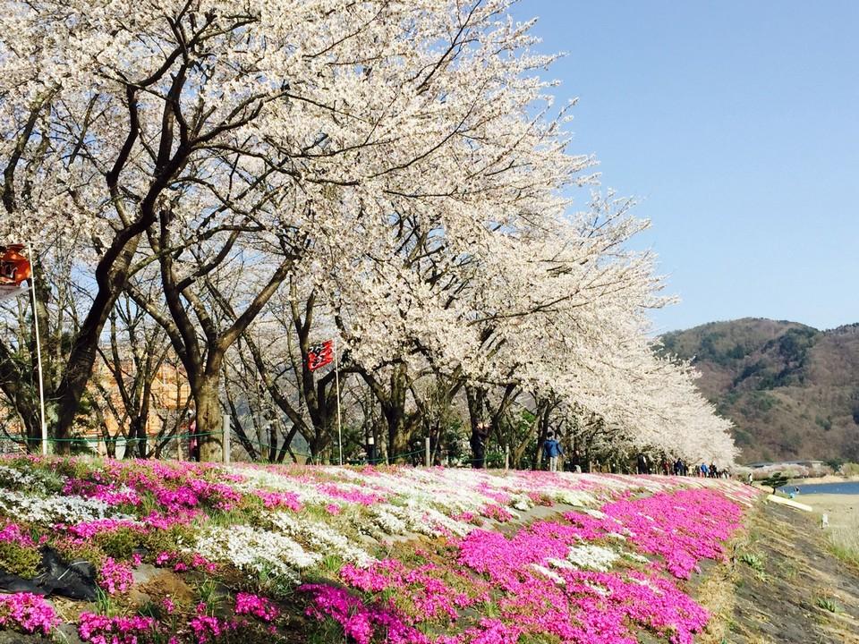 Fuji Kawaguchiko Cherry Blossom Festival