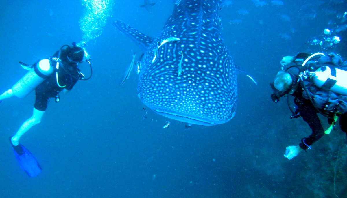 diving Whale-Shark-Koh-Phangan,koh phangan blog,koh phangan itinerary,koh phangan travel blog,koh phangan travel guide