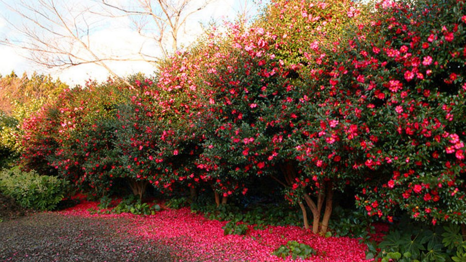 Camellia Hill jeju,best places to visit in jeju island,jeju must go places,must see places in jeju,must go places in jeju (2)